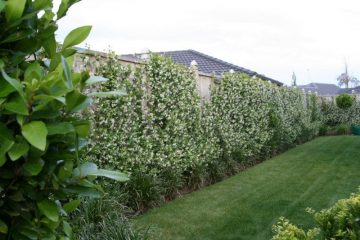 Excellent for covering a fence/wall, or as a ground cover. Trachelospermum Jasmin...